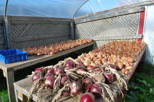 Onions curing in the fall