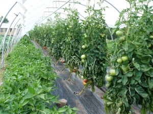 Tomatoes and peppers in one high tunnel
