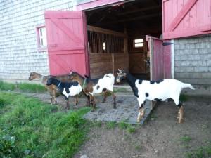 Captivated goats