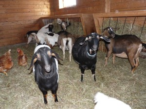 Goats and chickens in winter