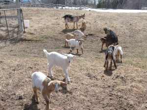 Baby goats in spring