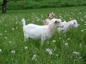 Goats in field in summer